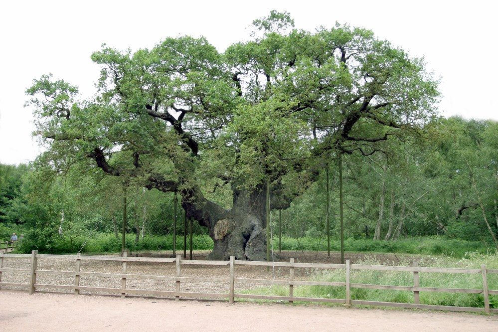 The One Show appearance for the Major Oak