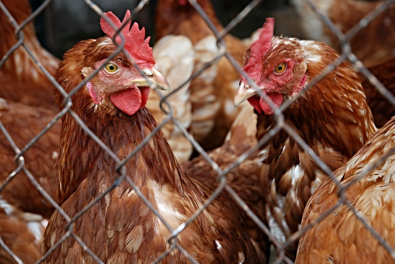 Notts poultry captive bird keepers receive bird flu order