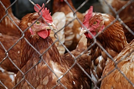 Bird keepers reminded of bird flu restrictions