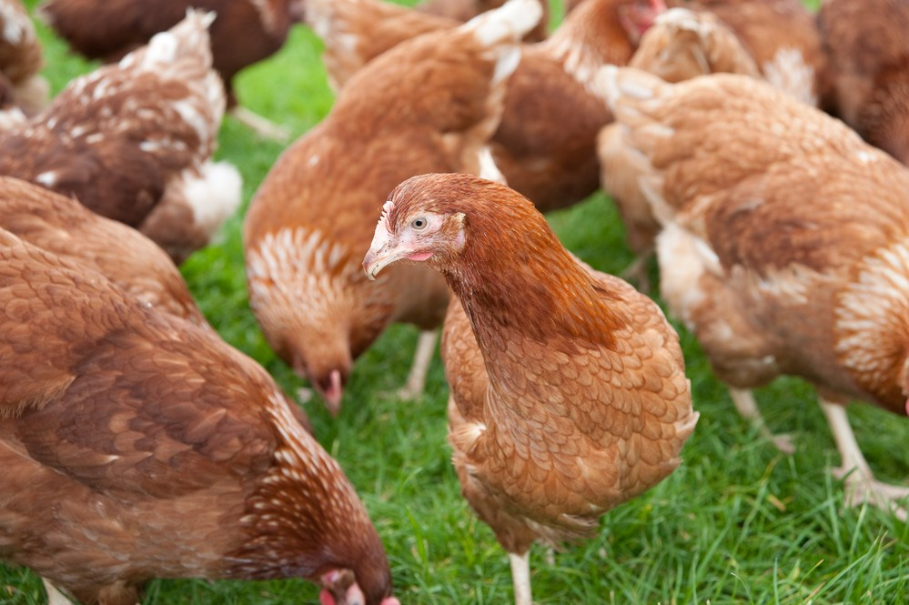 Update for Notts bird keepers - Avian flu restrictions lifted
