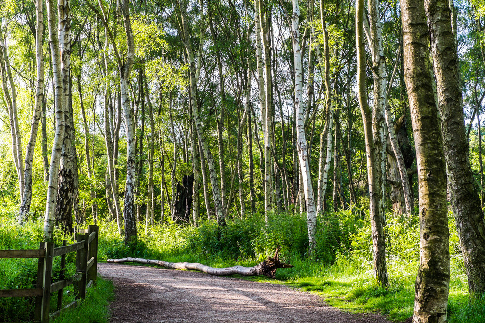 Silver birch trees in Sherwood Forest